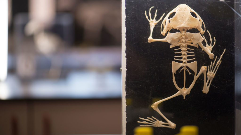 A small amphibian skeleton mounted on black card.